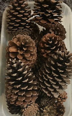 Pine Fir Cones 6 X Very Large & 40 Assorted S/M