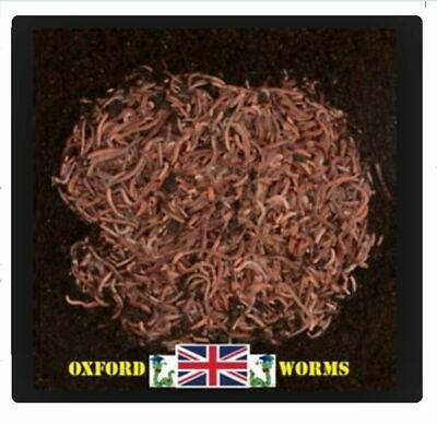 500g Wormery Compost Worms with Bedding Culture from 'Oxford-WORMS' dendrobaena
