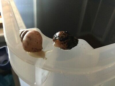 5 Baby Giant African Land Snails Achatina fulica pet bugs