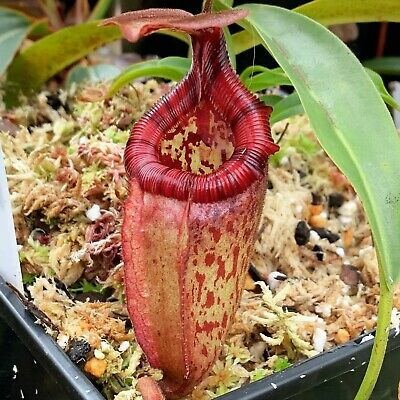 Nepenthes rajah x (burb x eddy) from seed.