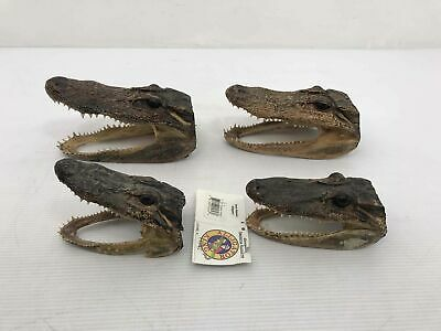 4 Alligator Mouth Open Taxidermy Southern Animal Heads Skulls