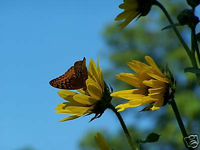 Butterfly Sunflower Profile Picture Digital Art Print Blue Yellow Orange Photo