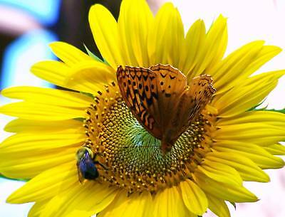 Bee Butterfly Dancing on Yellow Sunflower Picture Bathroom Bedroom Dining Decor