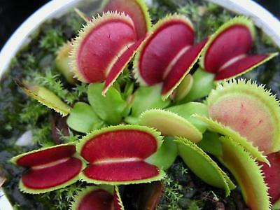 "Venus Fly Trap ""Bristle Tooth"" Carnivorous Plant"