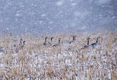 Cold Geese Corn Field Snowy Winter Wonderland Snowfall Scene Wall Portrait