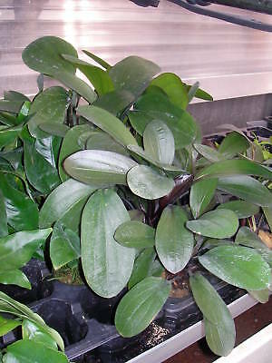 1 pot d echinodorus big bear rouge  plante aquarium rare made in france
