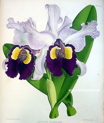 Orchidee Orchid Lithography Fitch Warner Williams 1889