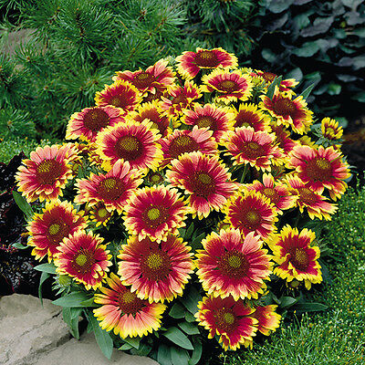 Gaillardia - Arizona Sun - 20 Seeds