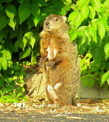 Mamma Woodchuck Digital Print Happy Mom Groundhog Day Critter Green Leaves
