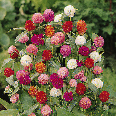 Gomphrena - Qis Blended Mix - 50 Seeds