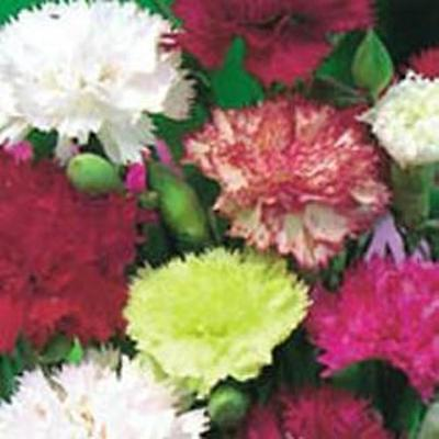 Carnation - Giant Chabaud Mixed - 200 Seeds