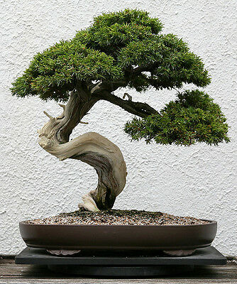 JAPANESE RED PINE- Pinus Densiflora  - 25 Semillas bonsai seeds graines