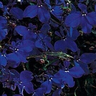 Lobelia - Regatta Midnight Blue - 1000 Seeds