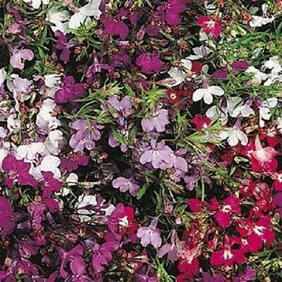 Lobelia - Regatta Mixed - 1000 Seeds