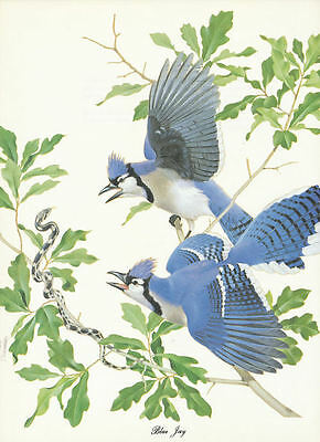 50s print Blue Jays by Menaboni