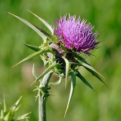 Herb Seeds - Milk Thistle - 50 Seeds