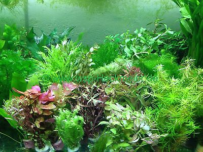 !! ANGEBOT !!  50 Aquariumpflanzen Bunter Mix (€0,22/Stk)