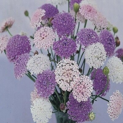 Didiscus (Trachymene) Lacy Mix - Appx 100 seed - Annuals & Biennials