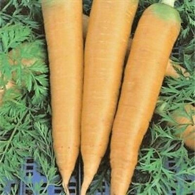 Vegetable Carrot Solar Yellow - Appx 2700 seeds