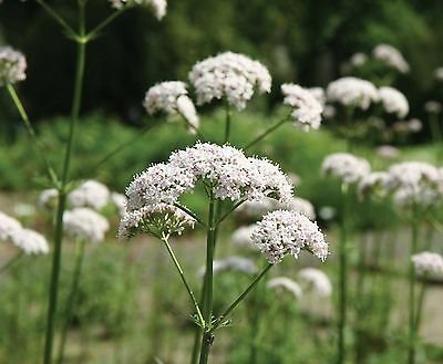 VALERIAN valerian officinalis 50 Seeds AROMATIC perennial to 1.5m