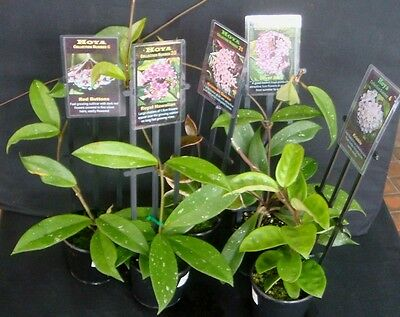 Hoya Climbing and Hanging Succulent plant  - Collection of 10