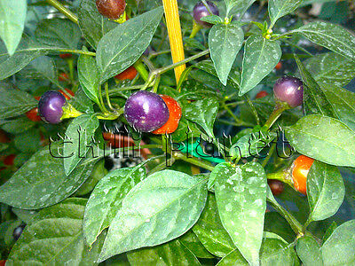 10 Semi/Seeds DI PEPERONCINO PICCANTE PRETTY PURPLE