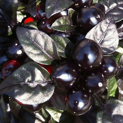 10 Semi/Seeds DI PEPERONCINO PICCANTE  BLACK PEARL HOT