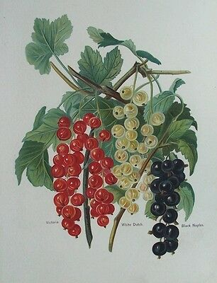 OLD PRINT FRUIT WRIGHTS FRUIT GROWER CURRANTS RED WHITE BLACK c1880's ANTIQUE
