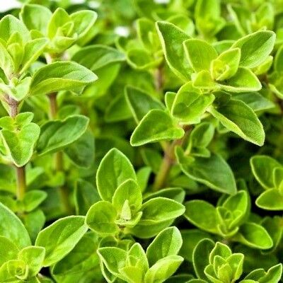 Herb Oregano Greek Origanum Hirtum - 500 seeds
