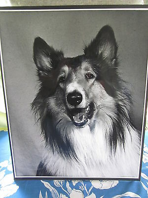 1970s HUGE photograph 19x15 portrait COLLIE dog submitted for competition image