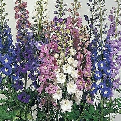 Delphinium Pacific Giants Mix x50 seeds - Very Showy F0159