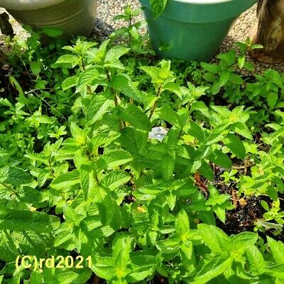 ***30ml Minzöl, Pfefferminzöl (Mentha arvensis) Japan