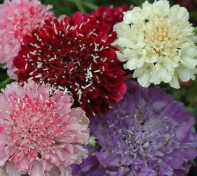 F0427 Scabiosa Tall Double Mix x25 seeds, Beautiful