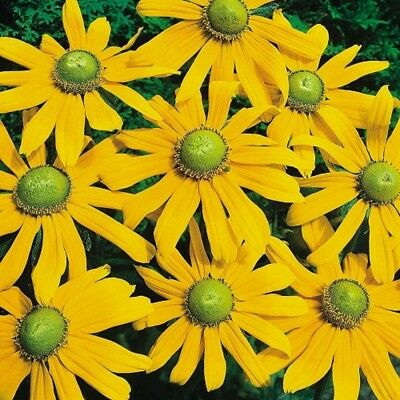 Rudbeckia Irish Eyes - 50 seeds - Annual