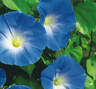 Ipomoea - Morning Glory - Heavenly Blue - 500 seeds - Annual