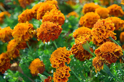 Marigold Brocade Mix -  French type - Appx 100 seeds - Annual