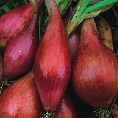 Vegetable Onion Long Red Florence Min 200 seeds