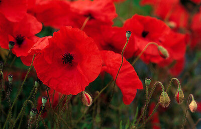 Papaver rhoeas - Red Field Poppy - Flanders poppy - various quantities - annual