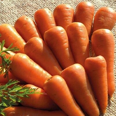 Carrot Chantenay Royal Appx 1000 seeds - Vegetable