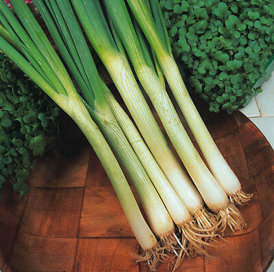 Vegetable Onion White Lisbon Winter Hardy Spring Onion Appx 2000 seeds