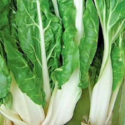 Vegetable Swiss Chard Virgo 400 seeds Beat Leaf