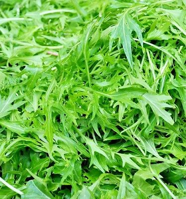 Herb Rocket Wild - 12000 seeds