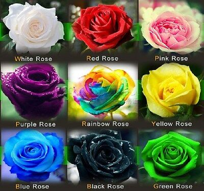 Rare Rainbow Red Yellow Green Black White Purple Blue Pink Colour Rose Seeds