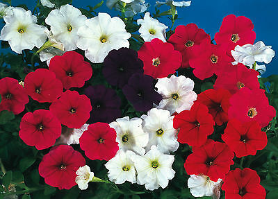 Petunia F1 Super cascade mix 50 seeds - Annual