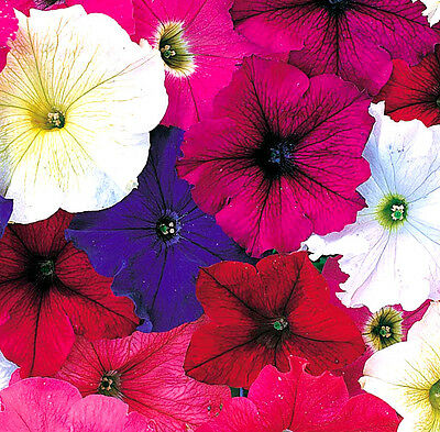 Petunia Compact Bedding mix - Appx 2000 seeds - Annual