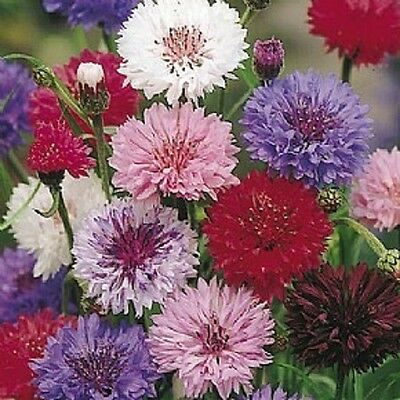 Cornflower Polka dot mixed - Min 2000 seeds Annuals & Biennials