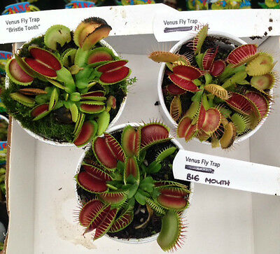 "Collection of 3 Venus Fly Traps 'Bristle Tooth Big Mouth No14"" Carnivorous Plant"