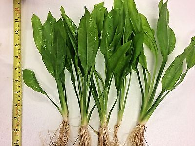 Live Aquarium Aquatic Plants - 5 x AMAZON SWORD PLANT Echinodorus bleheri