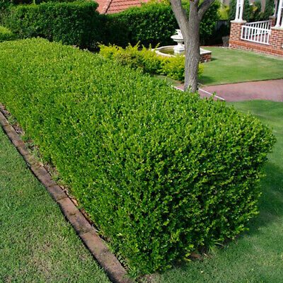 5 X Buxus Sempervirens Common Box Bushy Evergreen Hedging Plant In Pot