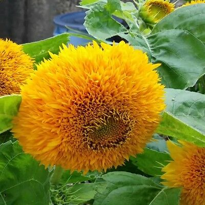 Sunflower Teddy Bear - 250 seeds - Annuals & BIennials